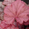 Heuchera 'Pauline' TM (Fox Series)