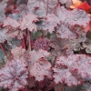 Heuchera 'Dark Storm' in Spring