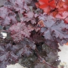 Heuchera 'Dark Storm' in Summer just coming into bud