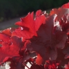 Heuchera Autumn glow basking in the sunshine