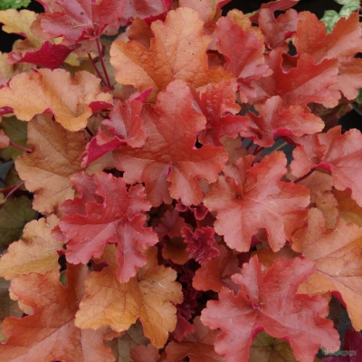 Heuchera 'Autumn Glow'