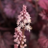 Heuchera Angel Wings flowers