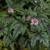 Tiarella 'Angel Wings' TM (Fox Series) PP