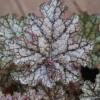 Heuchera 'Silver Celebration' close up of the foliage, showing the ruffled foliage