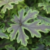 Tiarella 'Emerald Ellie' TM (Fox Series)