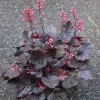 Heuchera 'Slaters Pink' TM (Fox Series)