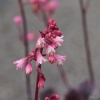 Pretty pink flowers on Heuchera 'Slaters Pink'