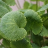 Close up of Saxifraga 'Rotundifolia' foliage