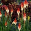 A shorter version of red hot poker great for smaller gardens