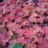 Heuchera 'Carmencita' grown in shade its a bit pinker
