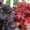 Heuchera Red seas and Black seas together