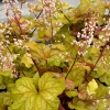 Heuchera Champagne in summer