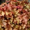 Heuchera 'Autumn Cascade' in Spring