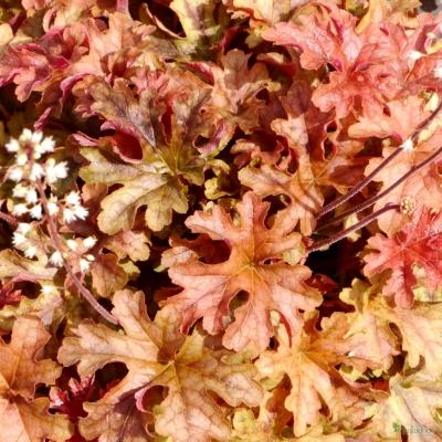 Heucherella 'Autumn Cascade'