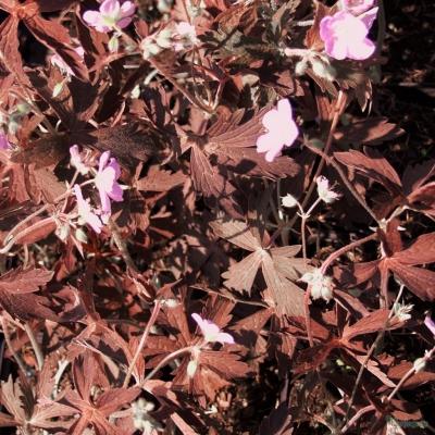 Geranium 'maculatum 'Expresso'