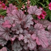 Heuchera Sugar Berry