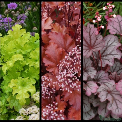 Heuchera 'Lime ruffles', Heuchera 'peach crisp', Heuchera 'sugar berry'