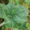 Heuchera Isabella foliage
