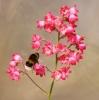 Bees love Heucheras and Isabella is no exception