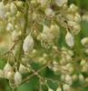 close up of Heuchera White Spires flowers after rain