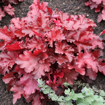 Heuchera 'Forever Red' PBR