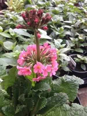 Primula 'Harperley Pink'