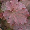 Heuchera 'Frilly Lizzie' TM (Fox Series) foliage in Spring