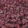 Heuchera 'Frilly Lizzie' TM (Fox Series) Sale plants in Spring growing on our nursery