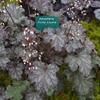 Heuchera 'Frilly Lizzie' TM (Fox Series) foliage in Summer at gardeners world flower show