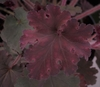 Heuchera 'Frilly Lizzie' TM (Fox Series) foliage in early Spring