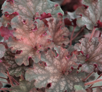 Heuchera 'Frilly Lizzie' TM (Fox Series)