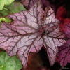 Heuchera 'Violet Shimmer' TM (Fox Series)