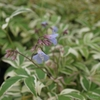 Image of Polemonium flower late summer.