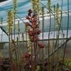 Heuchera Brownfinch growing amonst Heuchera Thomas