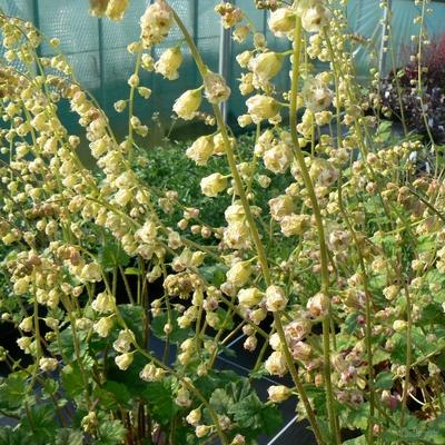 Tellima grandiflora 'Fox Hybrids'
