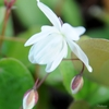 close up of pure white flowers of Epimedium 'Niveum'