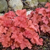 Heuchera 'Peachberry Ice' in Spring