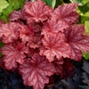 Heuchera 'Peachberry Ice' in early Summer