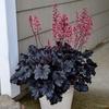 Heuchera 'Timless Night' full plant showing glossy foliage and pink flowers.